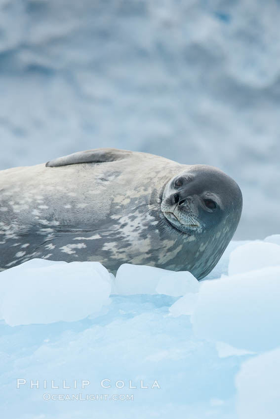 Weddell seal in Antarctica.  The Weddell seal reaches sizes of 3m and 600 kg, and feeds on a variety of fish, krill, squid, cephalopods, crustaceans and penguins. Cierva Cove, Antarctic Peninsula, Leptonychotes weddellii, natural history stock photograph, photo id 25566