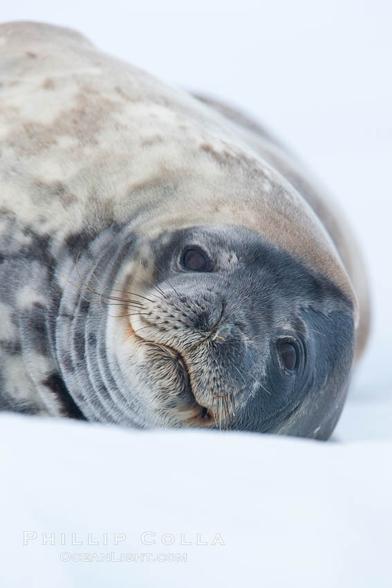 Weddell seal in Antarctica.  The Weddell seal reaches sizes of 3m and 600 kg, and feeds on a variety of fish, krill, squid, cephalopods, crustaceans and penguins. Neko Harbor, Antarctic Peninsula, Leptonychotes weddellii, natural history stock photograph, photo id 25661