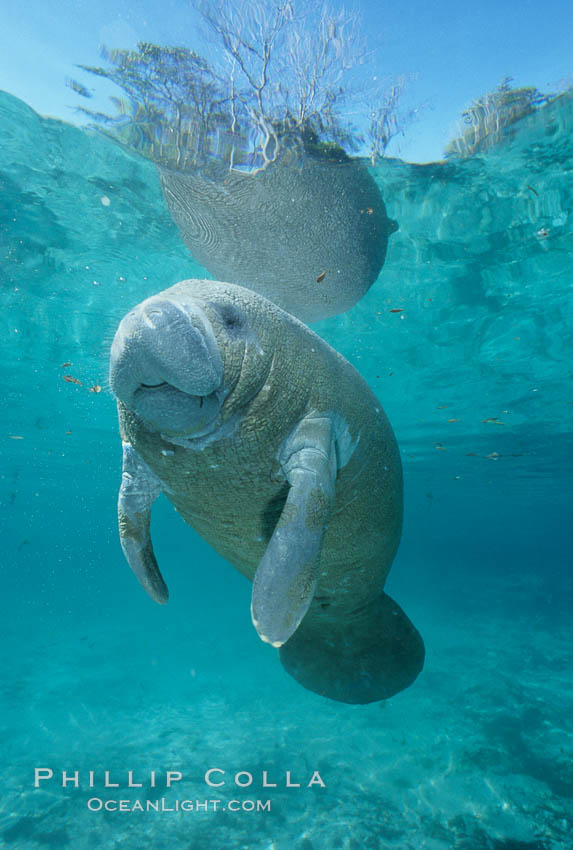 A Florida manatee, or West Indian Manatee, hovers in the clear waters of Crystal River. Three Sisters Springs, Crystal River, Florida, USA, Trichechus manatus, natural history stock photograph, photo id 02653