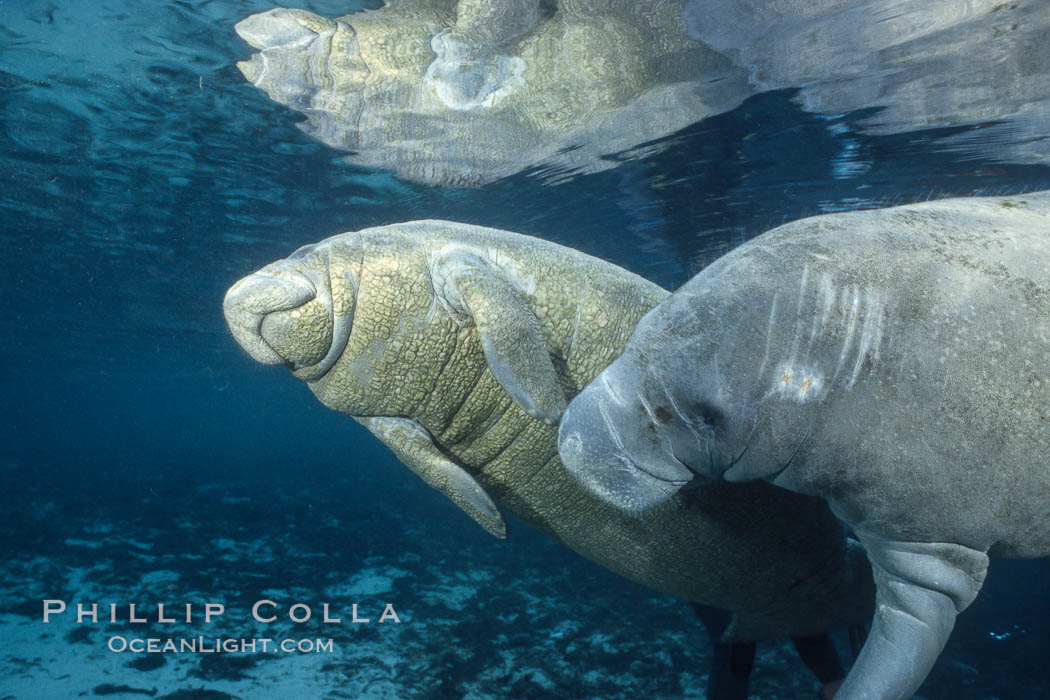 West Indian manatee. Three Sisters Springs, Crystal River, Florida, USA, Trichechus manatus, natural history stock photograph, photo id 02630