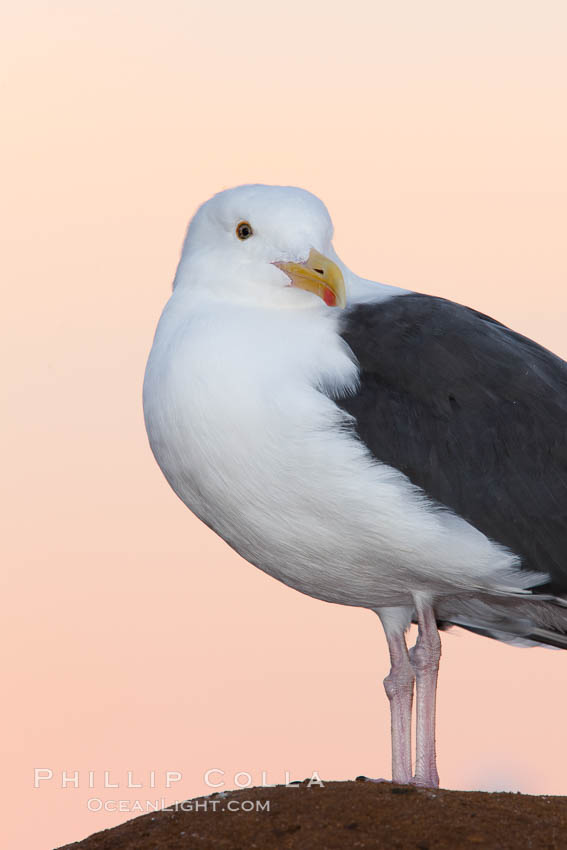 Western gull, pre-sunrise, Larus occidentalis, La Jolla, California