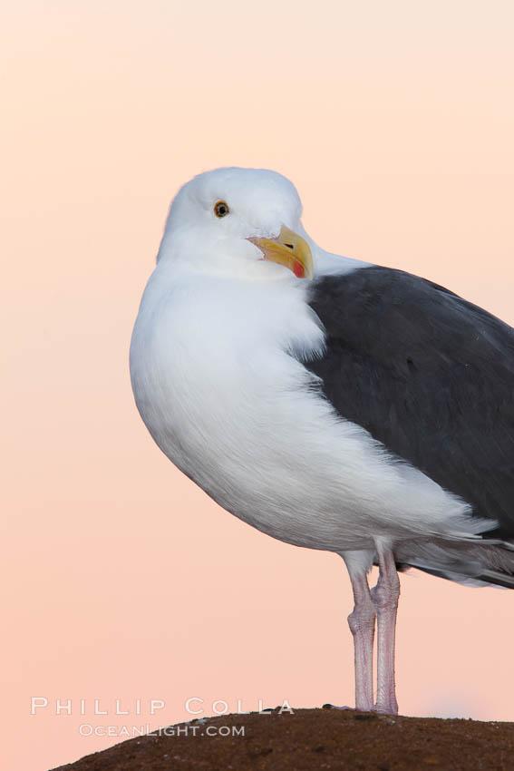 Western gull, pre-sunrise, Larus occidentalis, La Jolla, California