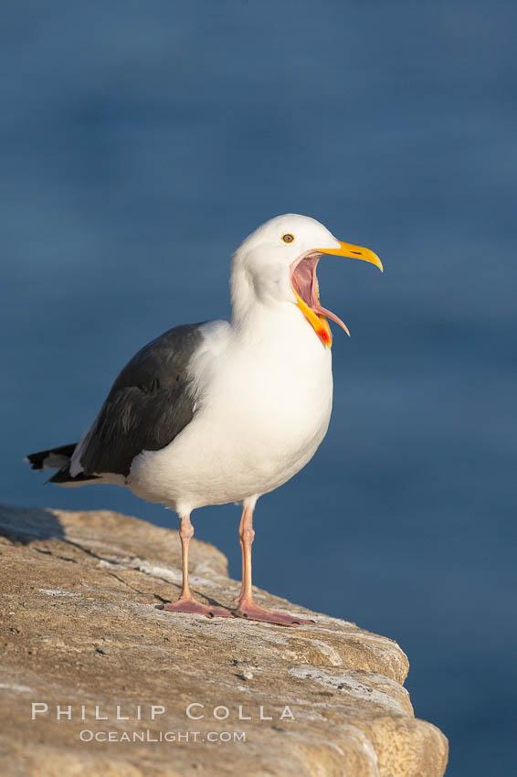 Western gull, open mouth, Larus occidentalis, La Jolla, California