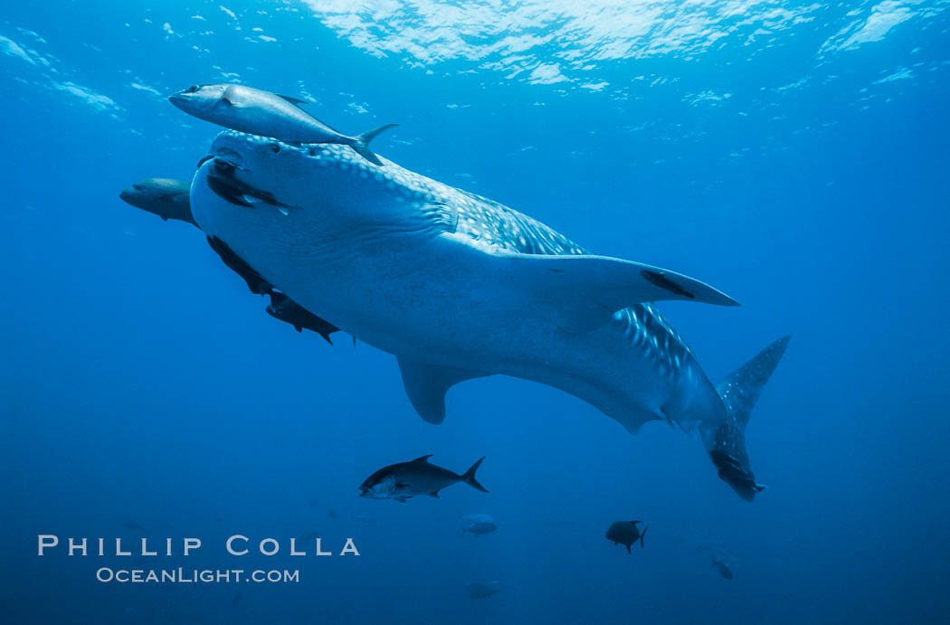 Whale shark. Darwin Island, Galapagos Islands, Ecuador, Rhincodon typus, natural history stock photograph, photo id 01502