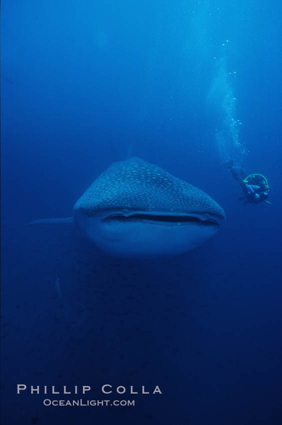 Whale shark. Darwin Island, Galapagos Islands, Ecuador, Rhincodon typus, natural history stock photograph, photo id 01507