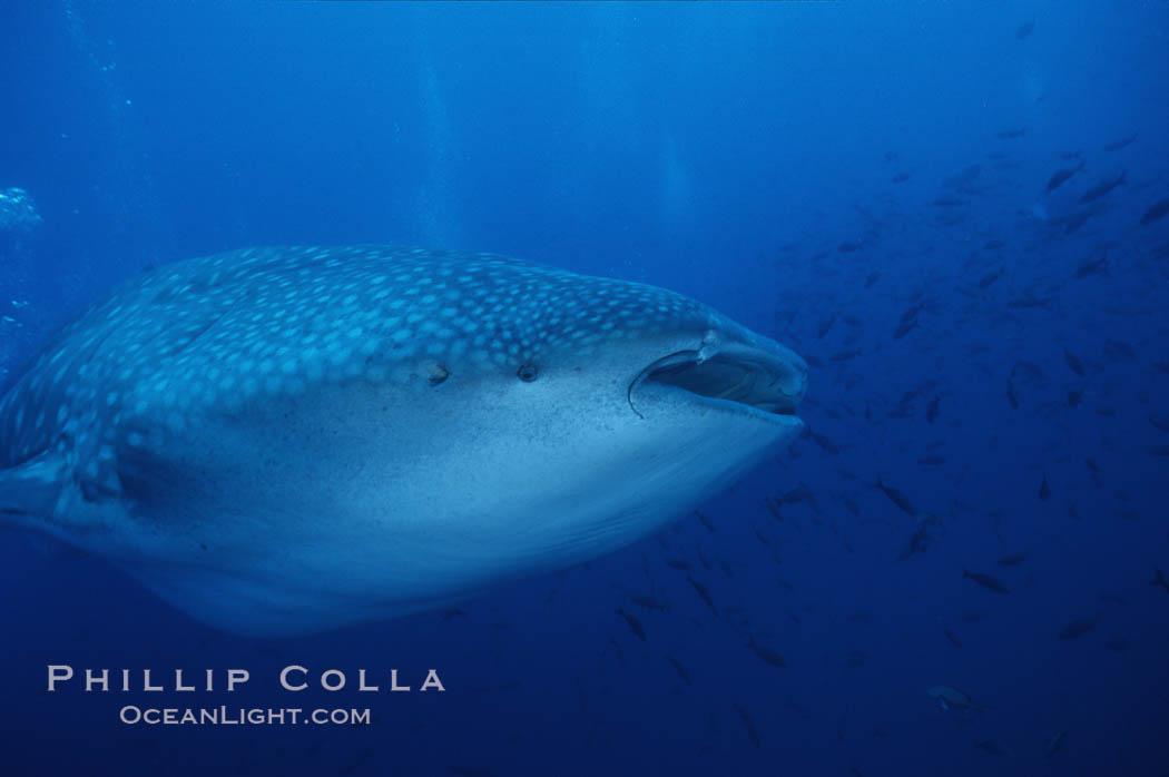 Whale shark. Darwin Island, Galapagos Islands, Ecuador, Rhincodon typus, natural history stock photograph, photo id 05017