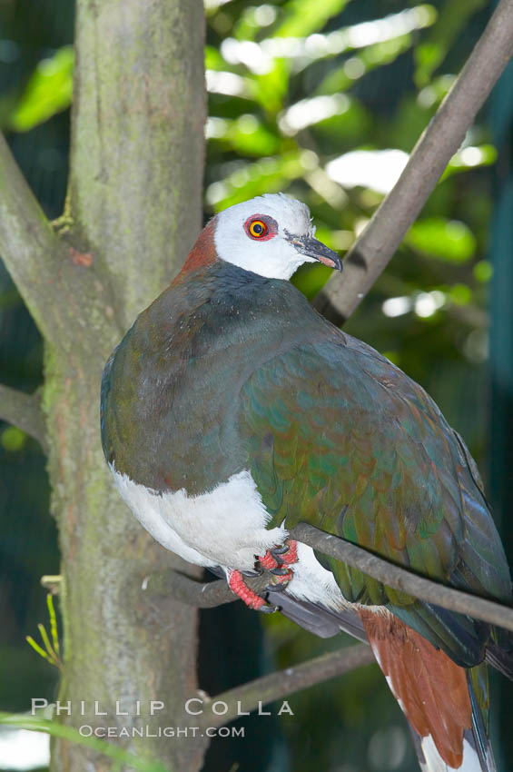 White-breasted imperial pidgeon, native to Sulawesi., Ducula forsteni, natural history stock photograph, photo id 12749