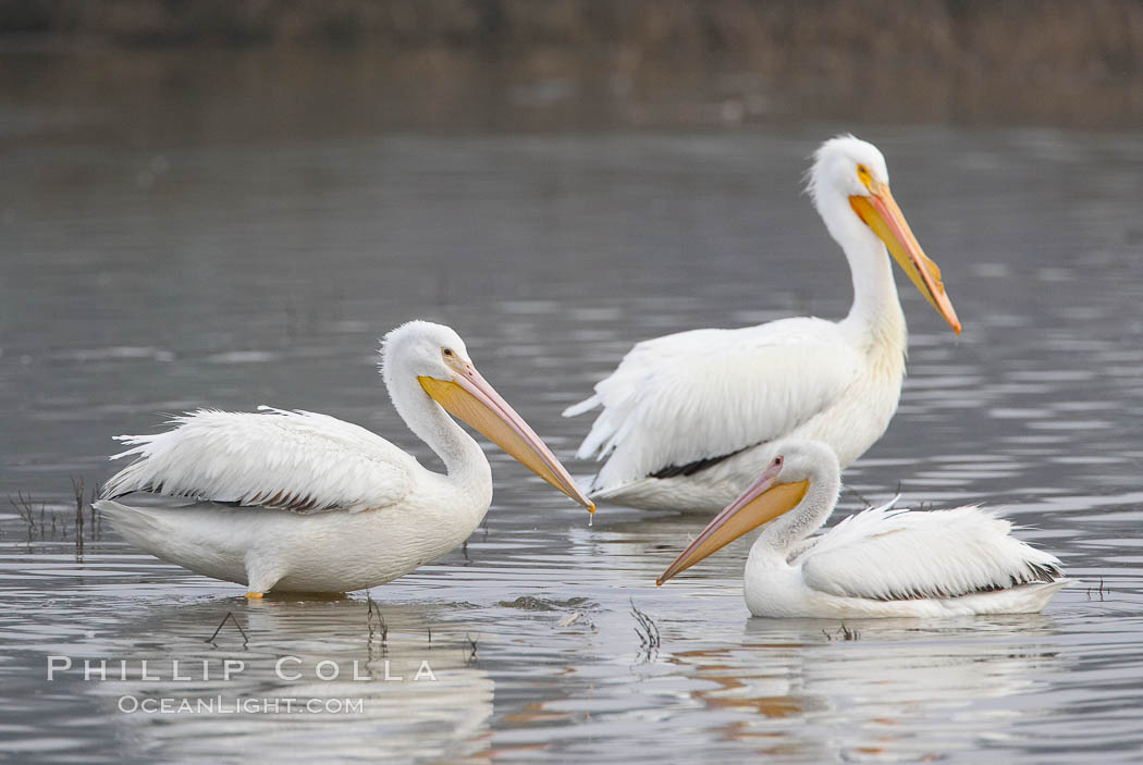 White pelicans. San Elijo Lagoon, Encinitas, California, USA, Pelecanus erythrorhynchos, natural history stock photograph, photo id 15725
