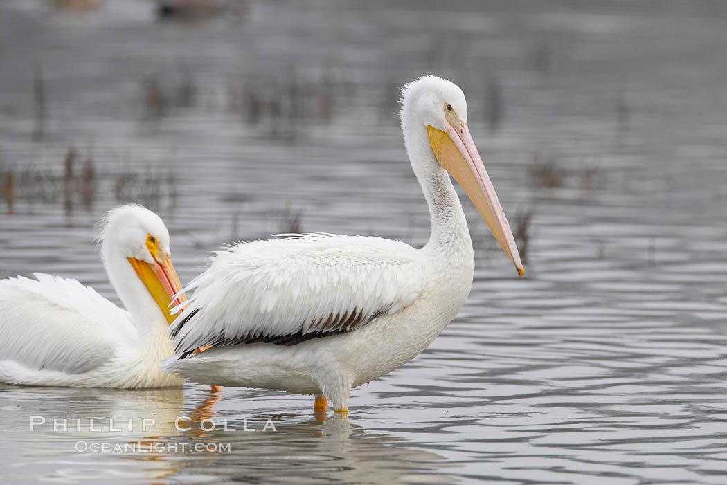 White pelicans. San Elijo Lagoon, Encinitas, California, USA, Pelecanus erythrorhynchos, natural history stock photograph, photo id 15727