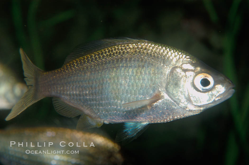 White seaperch., Phanerodon furcatus, natural history stock photograph, photo id 09407