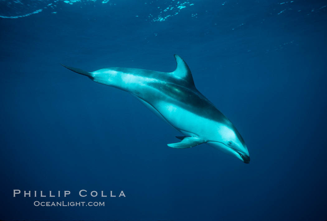 Pacific white sided dolphin underwater - photo#21