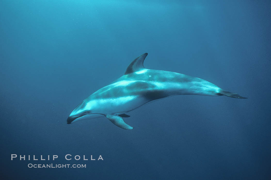 Pacific white sided dolphin underwater - photo#28