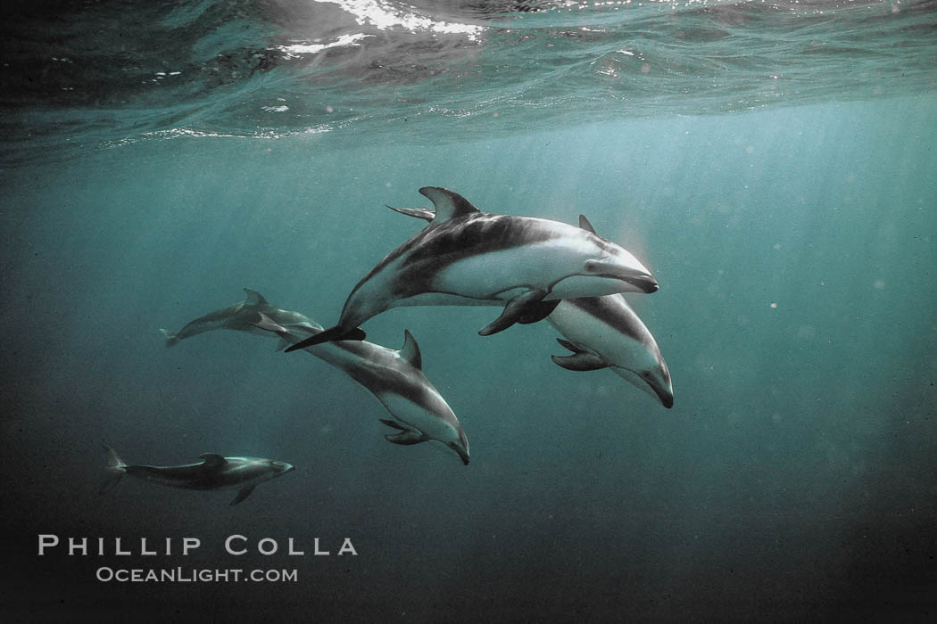 Pacific white sided dolphin underwater - photo#3