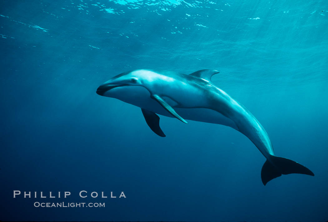 Pacific white sided dolphin underwater - photo#13