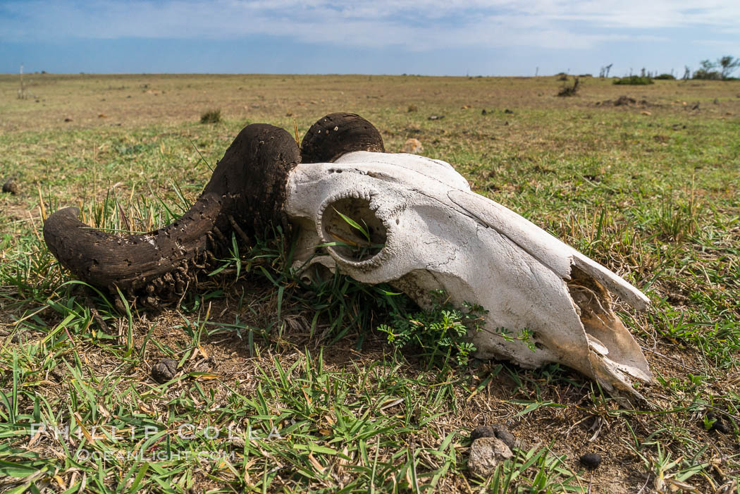Wildebeest skull, with horn moth larval casings on the horns, greater Maasai Mara, Kenya. Olare Orok Conservancy, natural history stock photograph, photo id 30054