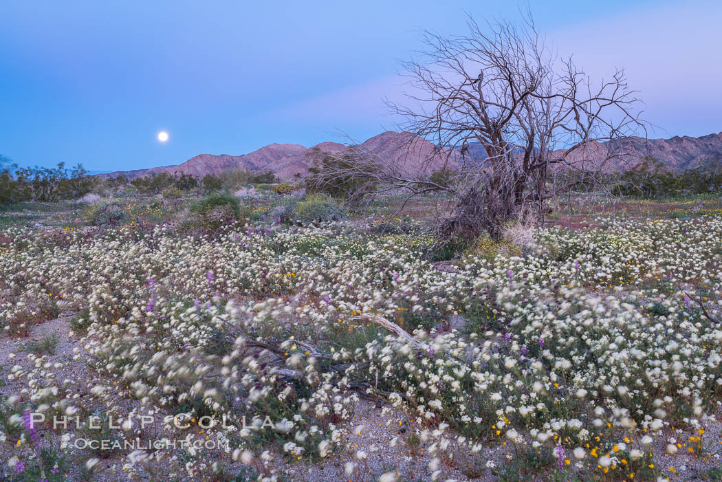 Wildflowers Bloom in Spring, Joshua Tree National Park. California, USA, natural history stock photograph, photo id 33143