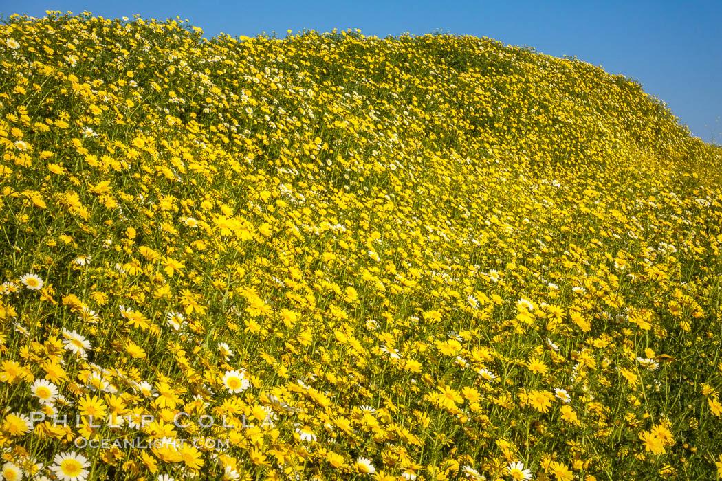 Wildflowers, Rancho La Costa, Carlsbad. Rancho La Costa, Carlsbad, California, USA, natural history stock photograph, photo id 33224