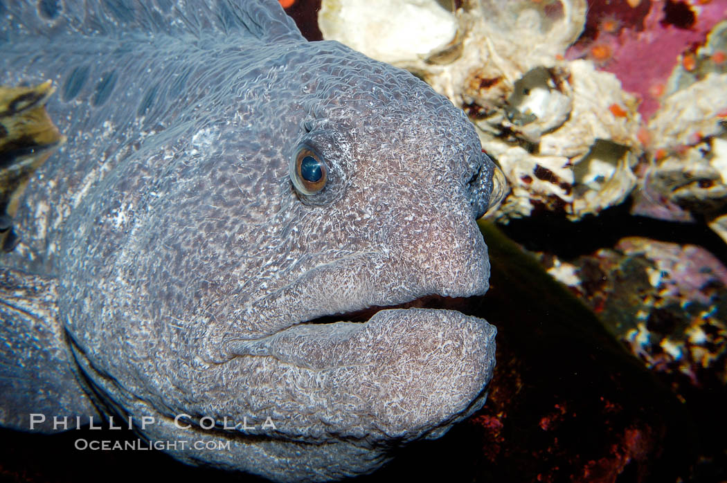 Wolf eel, although similar in shape to eels, is cartilaginous and not a true fish.  Its powerful jaws can crush invertibrates, such as spiny sea urchins.  It can grow to 6 feet (2m) in length., Anarrhichthys ocellatus, natural history stock photograph, photo id 09835