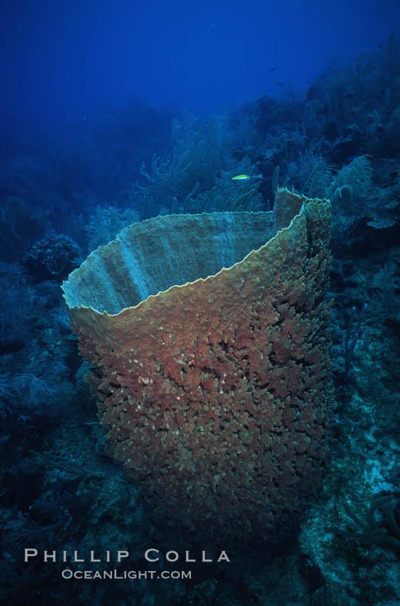 Barrel sponge. Roatan, Honduras, Xestospongia muta, natural history stock photograph, photo id 04605