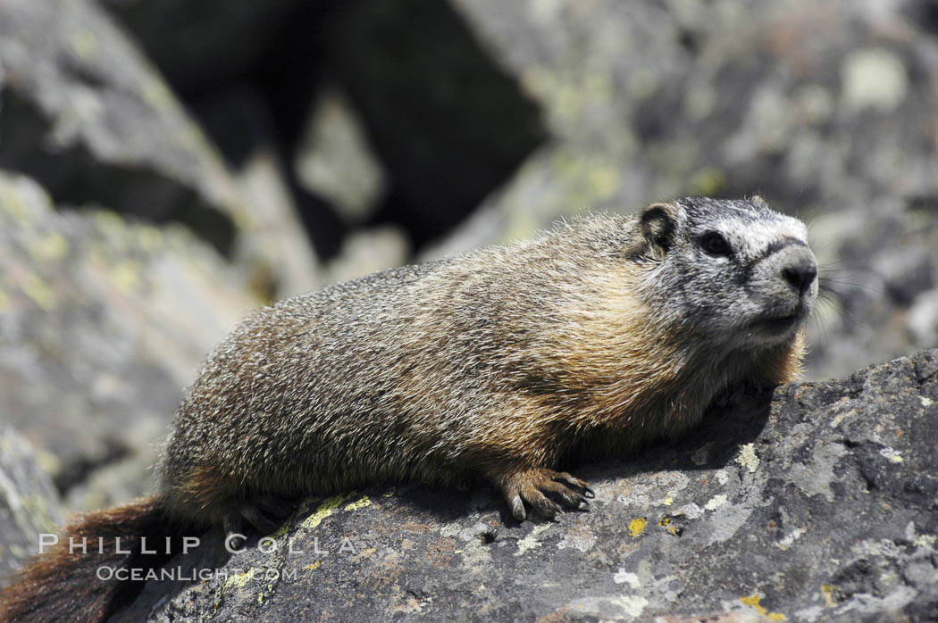 Yellow-bellied marmots can often be found on rocky slopes, perched atop boulders. Yellowstone National Park, Wyoming, USA, Marmota flaviventris, natural history stock photograph, photo id 07330
