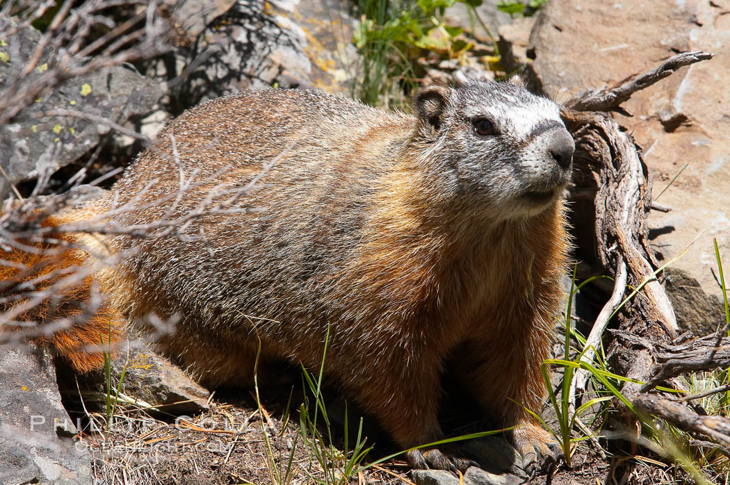 Yellow-bellied marmots can often be found on rocky slopes, perched atop boulders. Yellowstone National Park, Wyoming, USA, Marmota flaviventris, natural history stock photograph, photo id 13058
