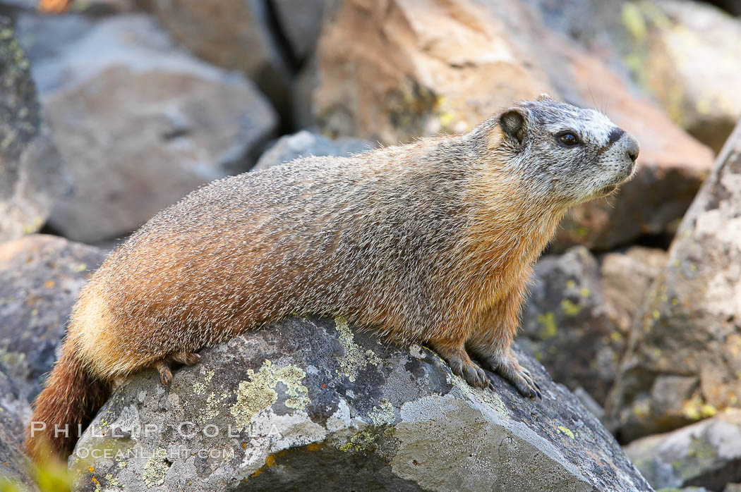 Yellow-bellied marmots can often be found on rocky slopes, perched atop boulders. Yellowstone National Park, Wyoming, USA, Marmota flaviventris, natural history stock photograph, photo id 13057