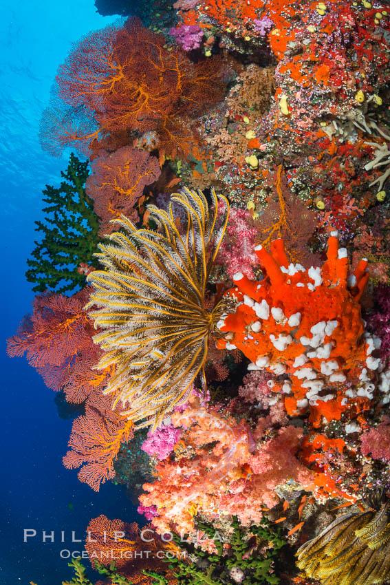 Yellow Crinoid with Sea Fan Gorgonians and Dendronephthya Soft Corals on Reef, Fiji. Vatu I Ra Passage, Bligh Waters, Viti Levu  Island, Fiji, Dendronephthya, Crinoidea, Gorgonacea, natural history stock photograph, photo id 31461