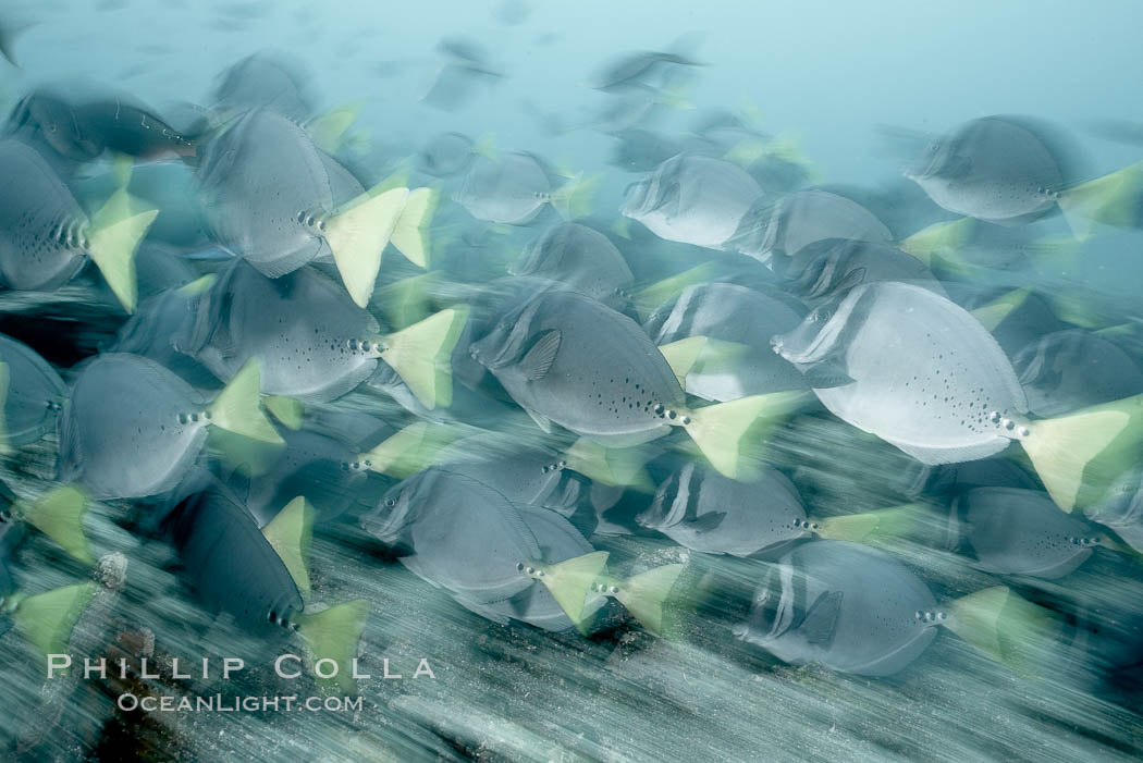 Image 16368, Yellowtail surgeonfish, motion blur. Cousins, Galapagos Islands, Ecuador, Prionurus laticlavius