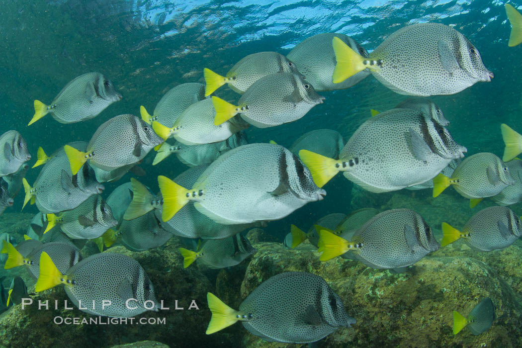 Yellow-tailed surgeonfish schooling, Sea of Cortez, Baja California, Mexico. Sea of Cortez, Baja California, Mexico, Prionurus laticlavius, natural history stock photograph, photo id 27572