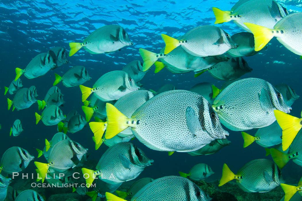 Yellow-tailed surgeonfish schooling, Sea of Cortez, Baja California, Mexico. Sea of Cortez, Baja California, Mexico, Prionurus laticlavius, natural history stock photograph, photo id 27571