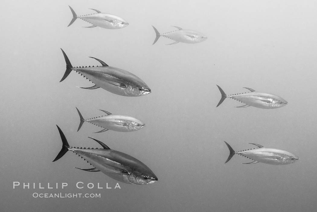 Yellowfin tuna at the Boiler, San Benedicto Island, Revillagigedos, Mexico, San Benedicto Island (Islas Revillagigedos)
