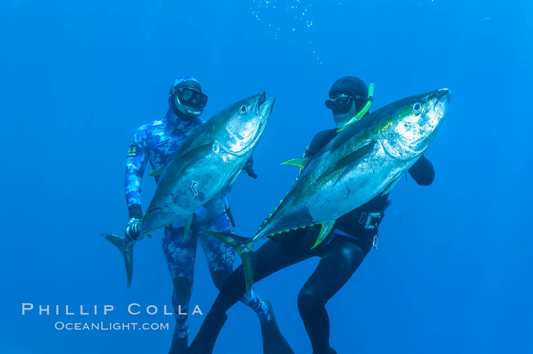 Joe Tobin (left) and James Tate (right) with yellowfin tuna (approx 60 pounds each), taken by breathold diving with band-power spearguns near Abalone Point.  Guadalupe Island, like other Eastern Pacific islands, is a fine place in the world to spear large yellowfin tuna.  July 2004. Guadalupe Island (Isla Guadalupe), Baja California, Mexico, Thunnus albacares, natural history stock photograph, photo id 09593