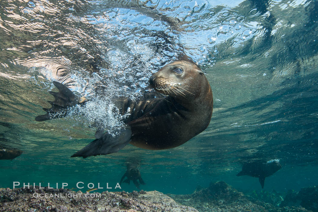 Young California sea lion pup underwater, Sea of Cortez. Baja California, Mexico, Zalophus californianus, natural history stock photograph, photo id 31223