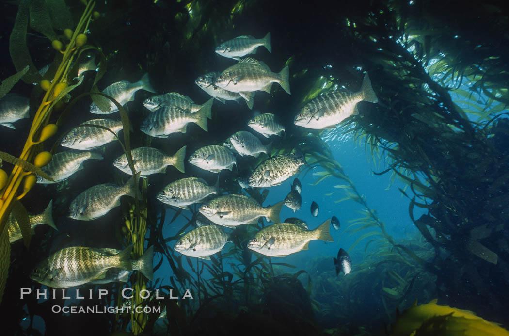 Zebra perch amid kelp forest. San Benito Islands (Islas San Benito), Baja California, Mexico, Hermosilla azurea, Macrocystis pyrifera, natural history stock photograph, photo id 06198