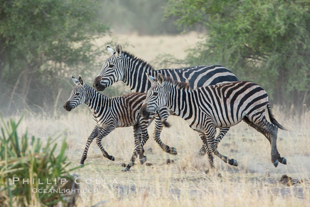 Zebra running, Meru National Park, Kenya., Equus quagga, natural history stock photograph, photo id 29635