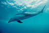 Pacific white sided dolphin. San Diego, California, USA. Image #00020