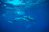Hawaiian spinner dolphin. Lanai, Hawaii, USA. Image #00112