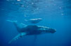 North Pacific humpback whales, a mother and calf pair swim closely together just under the surface of the ocean.  The calf will remain with its mother for about a year, migrating from Hawaii to Alaska to feed on herring. Maui, Hawaii, USA. Image #00140