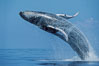 North Pacific humpback whale, breach. Maui, Hawaii, USA. Image #00205