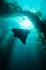 California bat ray and kelp canopy. San Clemente Island, USA. Image #00265