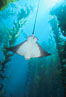California bat ray in kelp forest. San Clemente Island, California, USA. Image #00267
