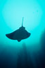 California bat ray. San Clemente Island, California, USA. Image #00579