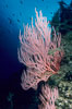 Red gorgonian. San Clemente Island, California, USA. Image #00616