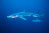 Blue shark and yellowtail in the open ocean. San Diego, California, USA. Image #00999