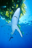 Blue shark underneath drift kelp, open ocean. San Diego, California, USA. Image #01006