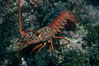 Spiny lobster. Catalina Island, California, USA. Image #01032