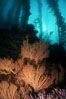 California Golden gorgonian in kelp forest. San Clemente Island, USA. Image #01043