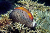 Chestnut cowrie with mantle extended, feather duster worm. Santa Cruz Island, California, USA. Image #01061