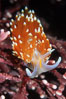 Nudibranch on calcareous coralline algae. Monterey, California, USA. Image #01064