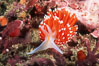 Nudibranch. San Miguel Island, California, USA. Image #01066